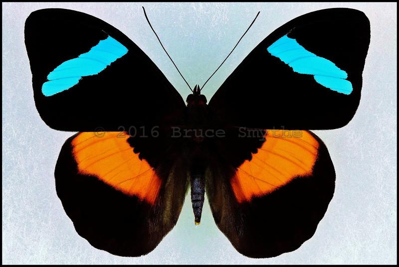 Nessaea Obrinus -Male -Recto