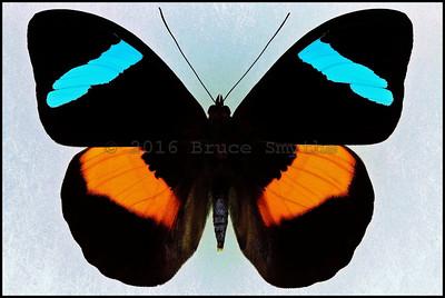 Lepidoptera N thru Papilio