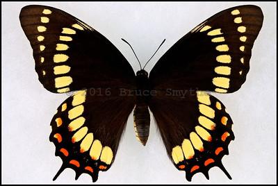 Papilio Scamander -Female