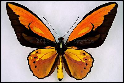 Ornithoptera Croesus Lydius, form Boutani -Male