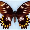 Papilio Bridgei Michae -Female