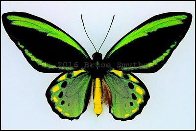 Ornithoptera Euphorion(7 Gold Spots) -Male -Recto