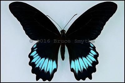 Papilio Mayo(Andaman Mormon) -Male