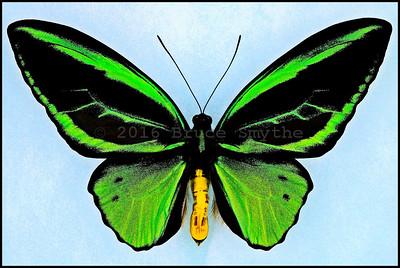 Ornithoptera Priamus Teucrus(Aberration2) -Male