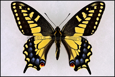 Papilio Zelicaon(Anise Swallowtail) -Male