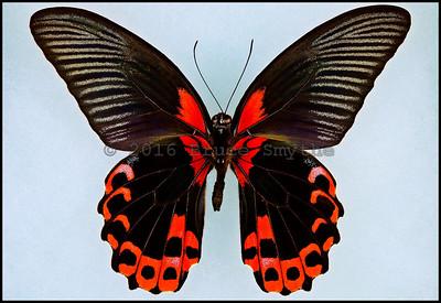 Papilio Rumanzovia -Male -Verso