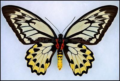 Ornithoptera Croesus Lydius -Female -Verso