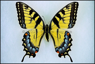 Papilio Glaucus(Eastern Tiger Swallowtail) -Female