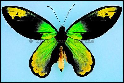 Ornithoptera Victoriae Regis(yellow form) -Male