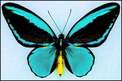Ornithoptera Aesacus -Male