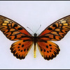 Papilio Antimachus(African Giant Swallowtail) -Male
