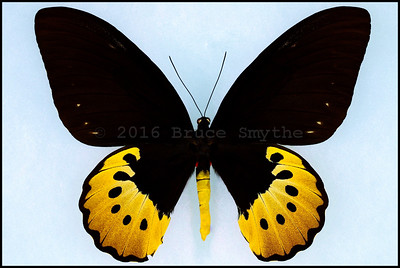 Ornithoptera Goliath Supremus form Titan -Female