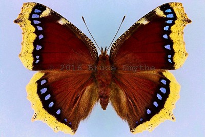 Nymphalis Antiopa(Mourning Cloak) -Female