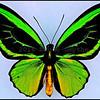 Ornithoptera Priamus Teucrus -Male -Aberration