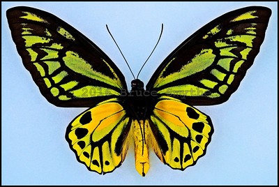 Ornithoptera Croesus Lydius -Male -Verso