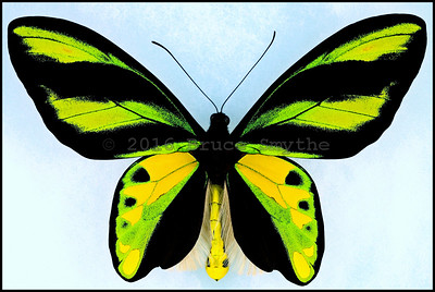 Ornithoptera Tithonus Misresiana -Male