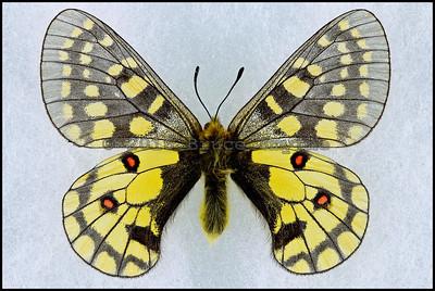 Parnassius Eversmanni Thor -Male