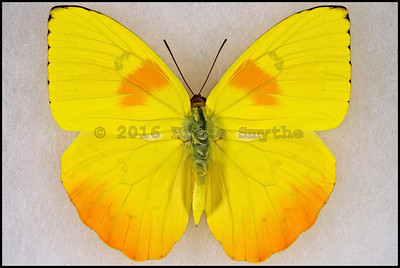 Phoebis Philea Philea(Orange-Barred Sulphur) -Male