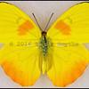 Phoebis Philea Philea(Orange-Barred Sulphur) -Male