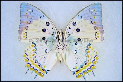 Polyura Delphis Concha(Jewel Nawab) -Male -Verso