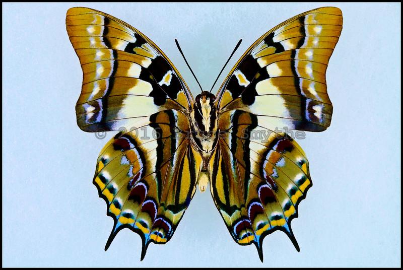 Polyura Jupiter -Male -Verso