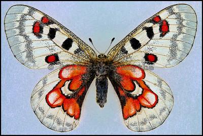 Parnassius Wiscotti -Female