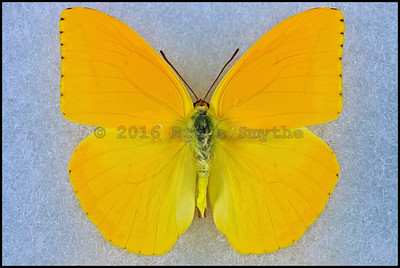 Phoebis Agarithe(Large Orange Sulfur) -Male