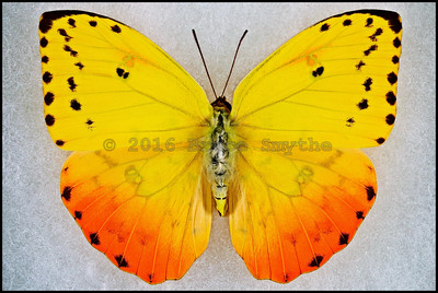 Phoebis Philea Philea(Orange-Barred Sulphur) -Female