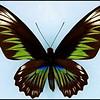 Trogonoptera Brookiana(Rajah Brooke's Birdwing) -Female