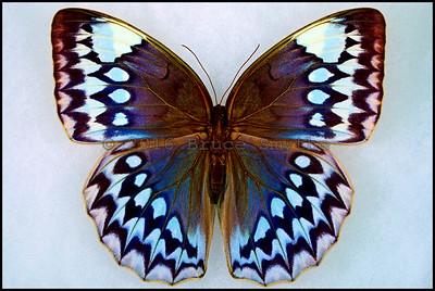 Stichophthalma Godfreyi -Female