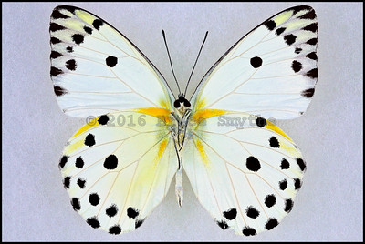 Pieris Calypso -Male -Verso