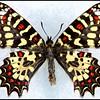 Zerynthia Rumina (Spanish Festoon) -Male