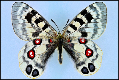 Parnassius Imperator -Male