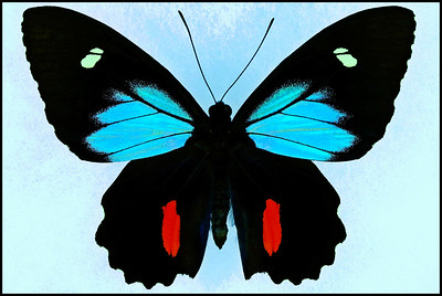 Parides Childrenae(Blue Form) -Male