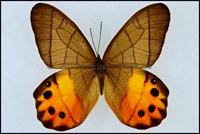 Pierella Hyceta(Golden Lady Slipper) -Male