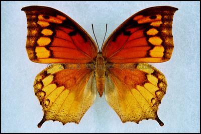 Anaea Cubana -Female