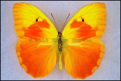 Phoebis Avellaneda(Red Splashed Sulphur) -Male