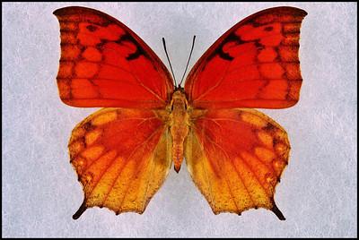 Anaea Cubana -Male