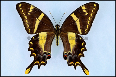 Papilio Machaonides -Male