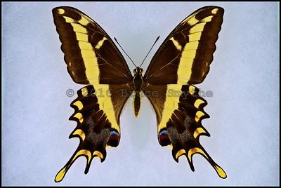 Papilio Andraemon Andraemon(Bahaman Swallowtail) -Female