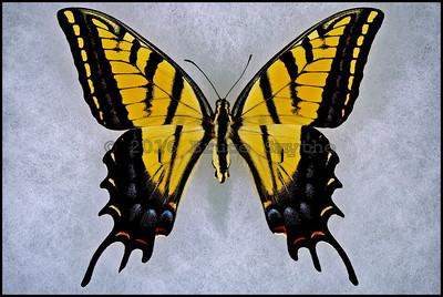 Papilio Multicaudata Grandiosus -Female