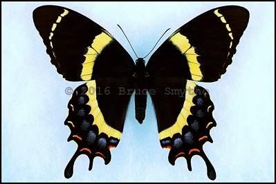 Papilio Garamas Garamas(Magnificent Swallowtail) -Female