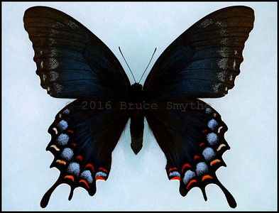 Papilio Garamas(Magnificent Swallowtail) -Female -Black Form