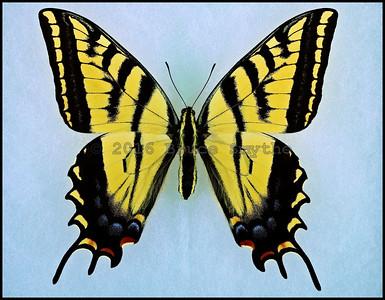 Papilio Multicaudata Multicaudata -Female