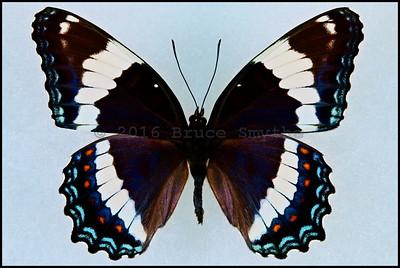 Limenitis Arthemis Arthemis(White Admiral) -Female -Recto