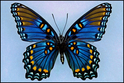 Limenitis Arthemis Arizonensis(Red Spotted Purple) -Female -Verso