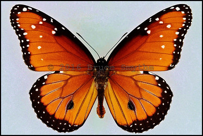 Danaus Gilippus(Queen) -Male