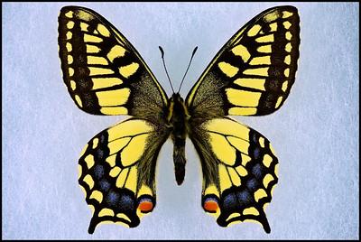 Papilio Machaon Aliaska -Male