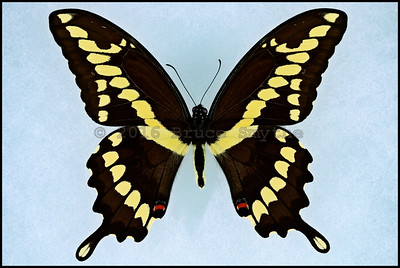 Papilio Cresphontes(Giant Swallowtail) -Male -Recto