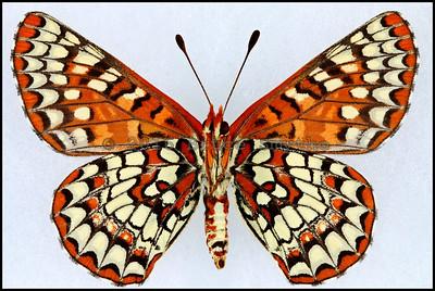 Euphydryas Chalcedona(Variable Checkerspot) -Female -Verso